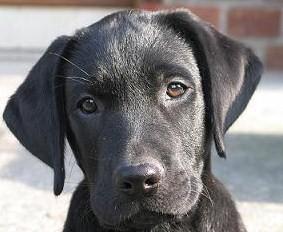 black-lab-pup2.jpg