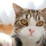 maru the cat